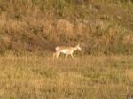 Antilope d'Amérique (Pronghorn)