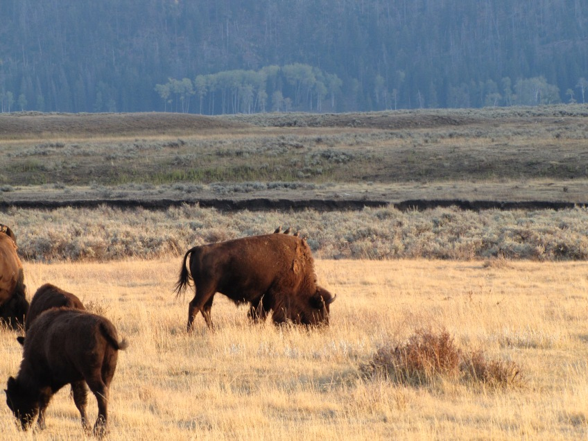 Bisons dans Lamar Valley
