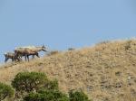 Mouflons femelles (Bighorn sheep)